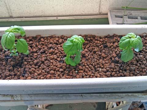 ガーデニング:バジルの苗を植えました(撮影はソニー・エリクソンのスマートフォンXperia)