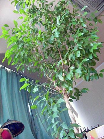 剪定しないまま放っておいて天井まで伸びたベンジャミンの鉢植え