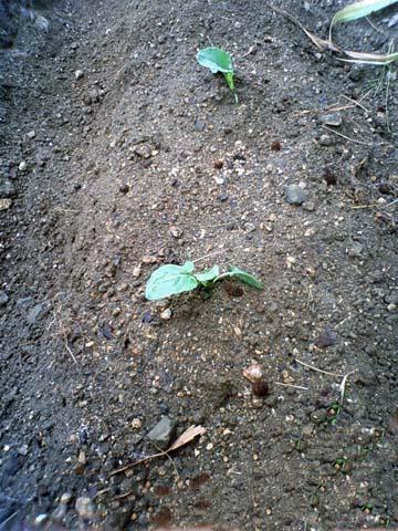 ガーデニング:実家の家庭菜園に植えたブロッコリーの苗