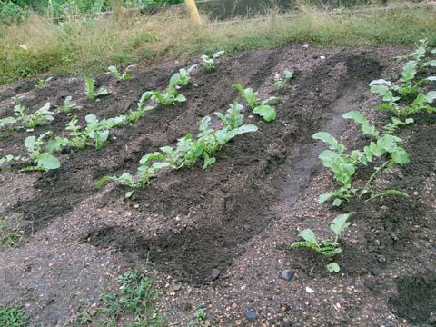 ガーデニング:家庭菜園に植えた大根が本葉4、5枚になったので1本立てにして追肥を行いました