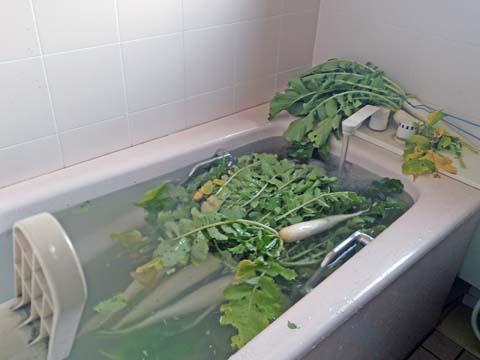 ガーデニング:収穫した大根を風呂場で洗いました