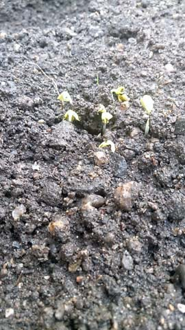 ガーデニング:家庭菜園に蒔いた大根とカブが発芽しました