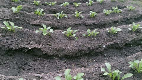 ガーデニング:家庭菜園に蒔いた大根が本葉2枚になったので間引き