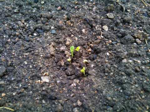 ガーデニング:実家の家庭菜園に大根の芽が出ました