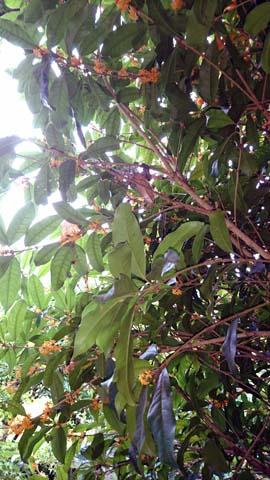 ガーデニング:キンモクセイが花盛りで良い香りがします