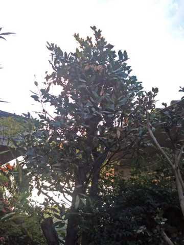 ガーデニング:ニシガキ工業の高枝用ハサミ 太丸 N-154で剪定した月桂樹
