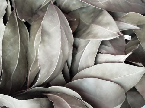 ガーデニング:ニシガキ工業の高枝用ハサミ 太丸 N-154で剪定した月桂樹の葉を乾燥させました