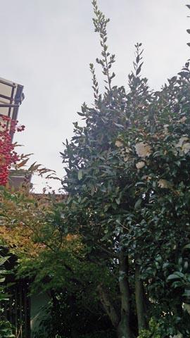 ガーデニング:枝打ちをした後の月桂樹はちょっとスッキリした感じ?