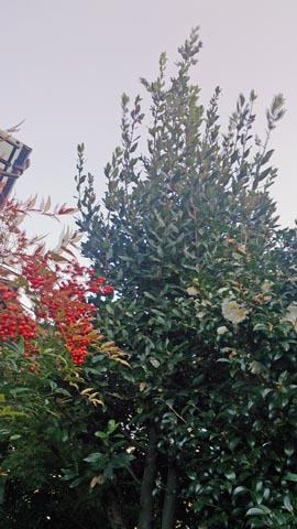 ガーデニング:枝打ちをする前の月桂樹は2階くらいまで枝が伸び放題