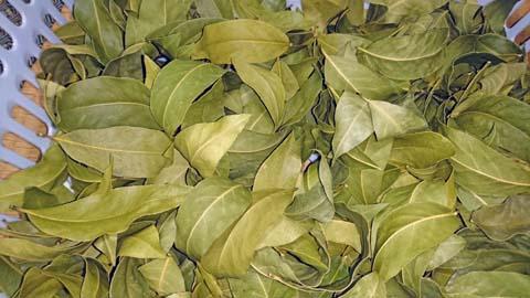 ガーデニング:枝打ちをした月桂樹の葉の乾燥がおわりました