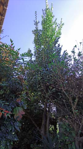 ガーデニング:月桂樹の枝打ち前の状態