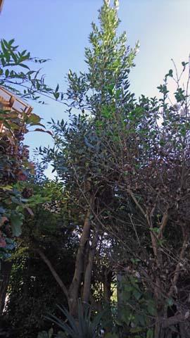 ガーデニング:月桂樹の枝打ち後の状態