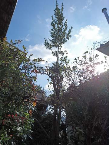 ガーデニング:再度月桂樹の枝打ちをしましたが……