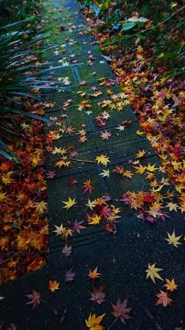 ガーデニング:庭の通路石畳に散ったモミジ
