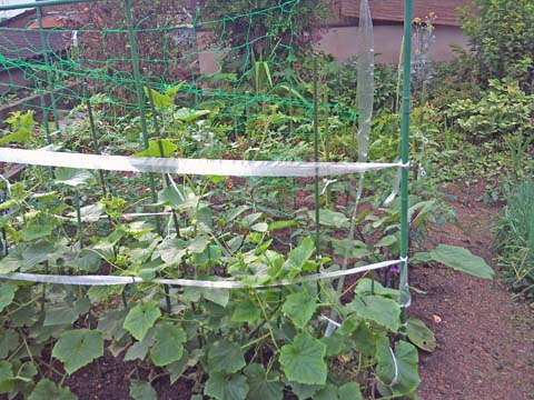 ガーデニング:実家家庭菜園のキュウリにネットを張りました(撮影はソニー・エリクソンのスマートフォンXperia)