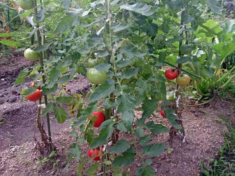 ガーデニング:家庭菜園のトマトが段々色づきてきました